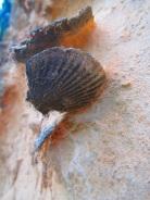 Fósil de almeja en Isabela.